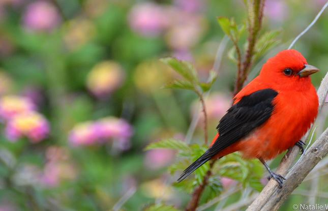 Scarlet Tanager Bird Grand Isle