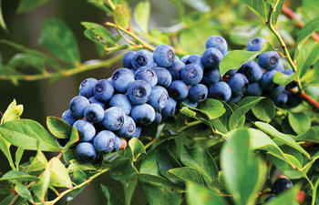 Blueberries are ripening on the vine.