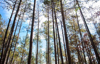Kisatchie NationalForest trees Scenery