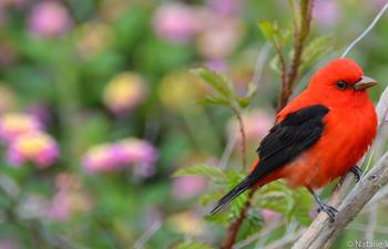 Scarlet Tanager Grand Isle.jpg