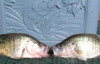 white perch.jpg