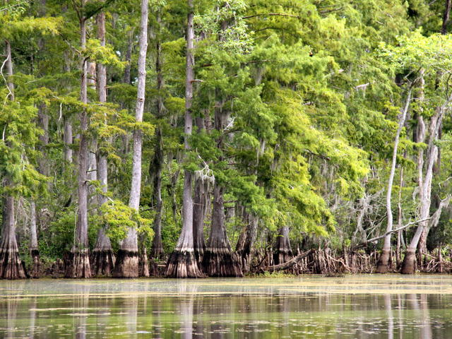 Cypress trees in the Honey Island Swamp