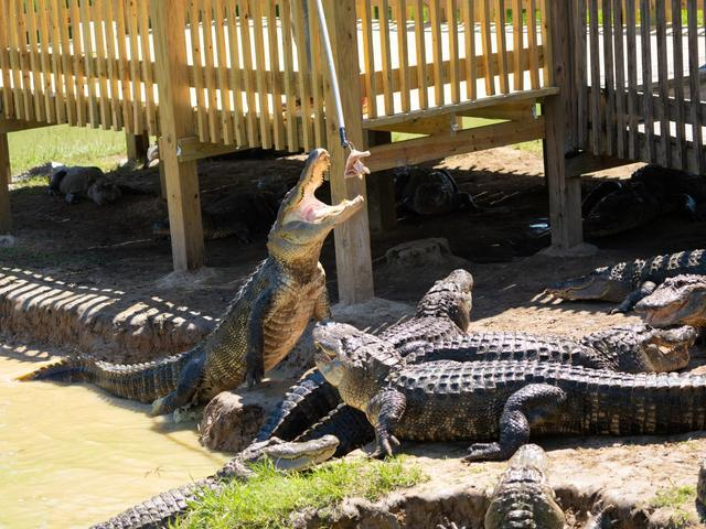 Alligator feedings at Gators and Friends Adventure Park Photo