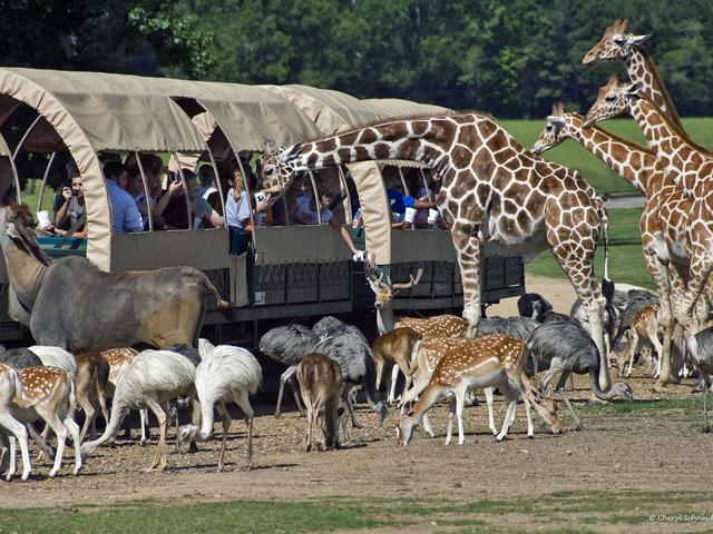 You feed the animals on a safari adventure tour at Global Wildlife Center! Photo 2
