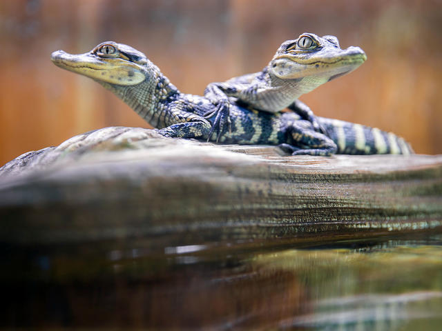 Inside the Iberville Visitors Center – North are two baby alligators, Louis and Ana. The center is located off Interstate 10 in Grosse Tete, Louisiana and serves as a gateway to the Atchafalaya Heritage Area and is in the heart of Louisiana's Plantation Country.