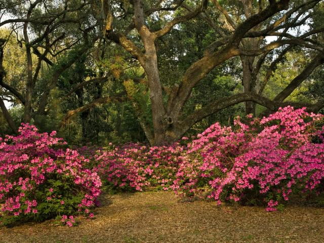 Southern Live Oaks and azalea's