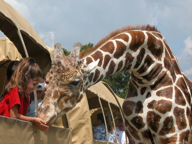 A young visitor has a giraffe eating out of her hand at Global Wildlife Center in Folsom.