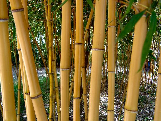 'Allgold' bamboo, Bamboo Gardens of Louisiana Photo 2