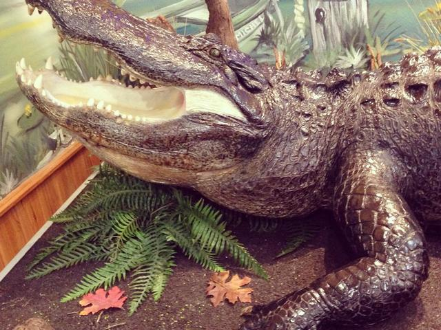"Come meet ""Moby"" - The largest alligator harvested in West Baton Rouge Parish. 14-foot-3, 760 lbs."