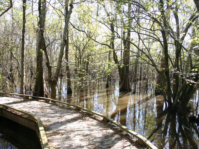 Boardwalk in Cypress Swamp Photo