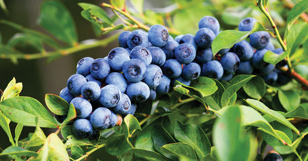 Image result for images of map of Louisiana with blueberries